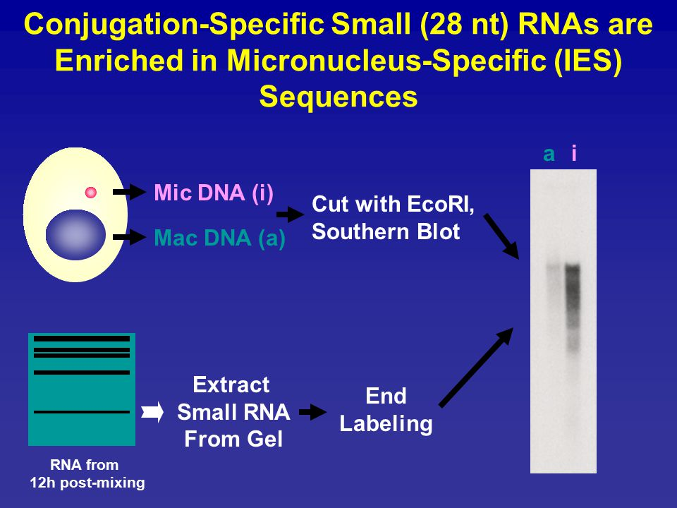 Conjugation-Specific Small (28 nt) RNAs are Enriched in Micronucleus-Specific (IES) Sequences Mic DNA (i) Mac DNA (a) ai Cut with EcoRI, Southern Blot Extract Small RNA From Gel End Labeling RNA from 12h post-mixing