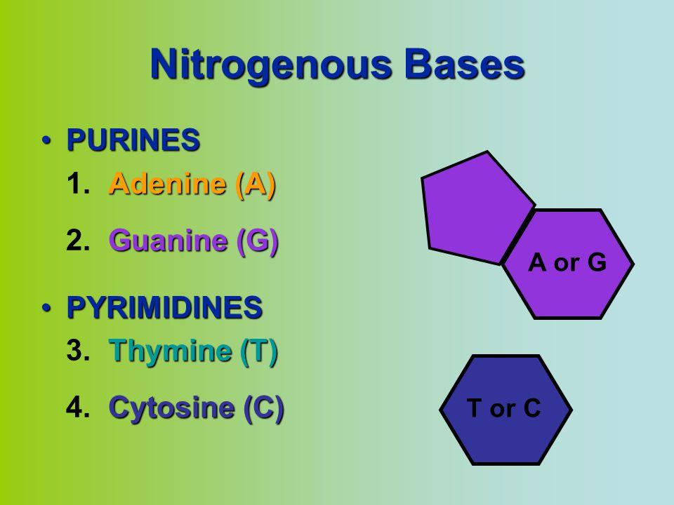 Nitrogenous Bases PURINESPURINES Adenine (A) 1.Adenine (A) Guanine (G) 2.Guanine (G) PYRIMIDINESPYRIMIDINES Thymine (T) 3.Thymine (T) Cytosine (C) 4.Cytosine (C) T or C A or G