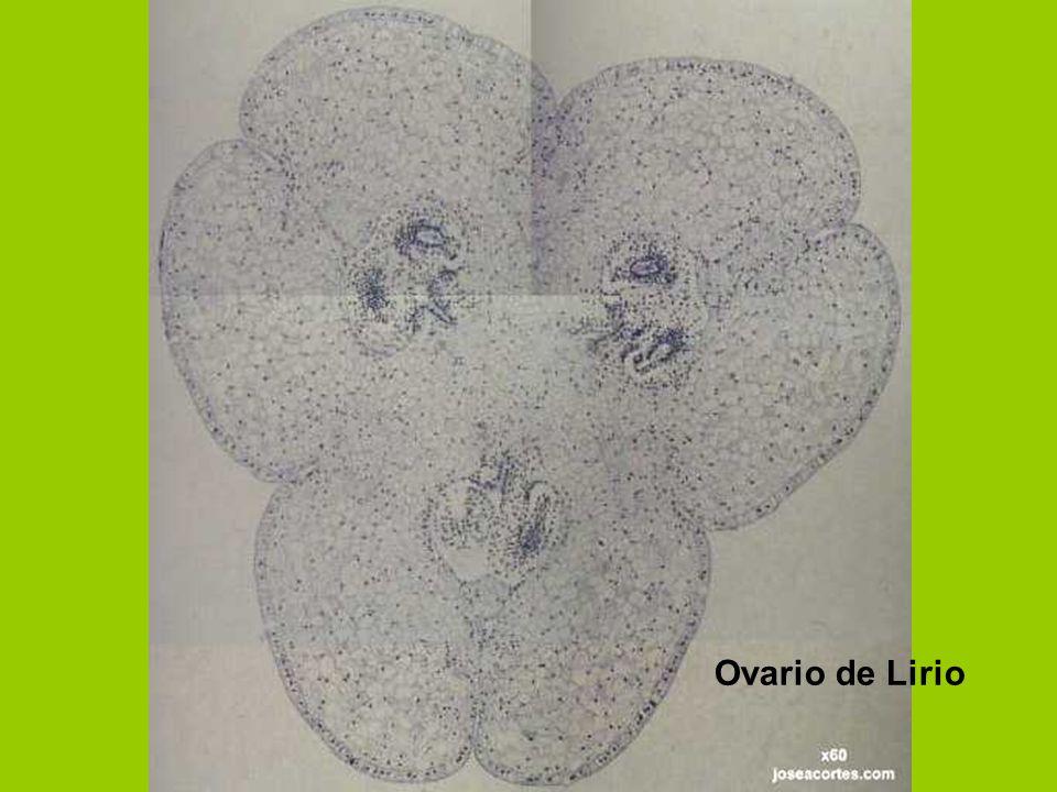 Ovario de Lirio