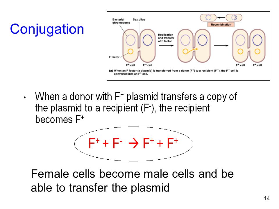14 Conjugation Female cells become male cells and be able to transfer the plasmid