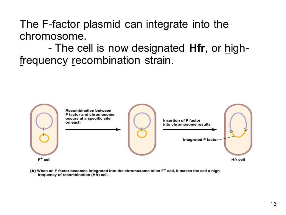 16 Conjugation The F-factor plasmid can integrate into the chromosome.