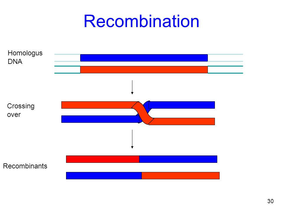 30 Homologus DNA Recombinants Crossing over Recombination