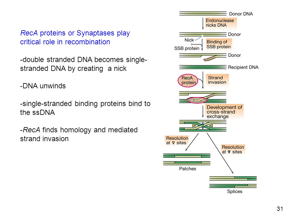 31 RecA proteins or Synaptases play critical role in recombination -double stranded DNA becomes single- stranded DNA by creating a nick -DNA unwinds -single-stranded binding proteins bind to the ssDNA -RecA finds homology and mediated strand invasion