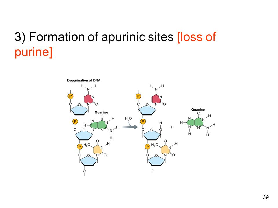 39 3) Formation of apurinic sites [loss of purine]