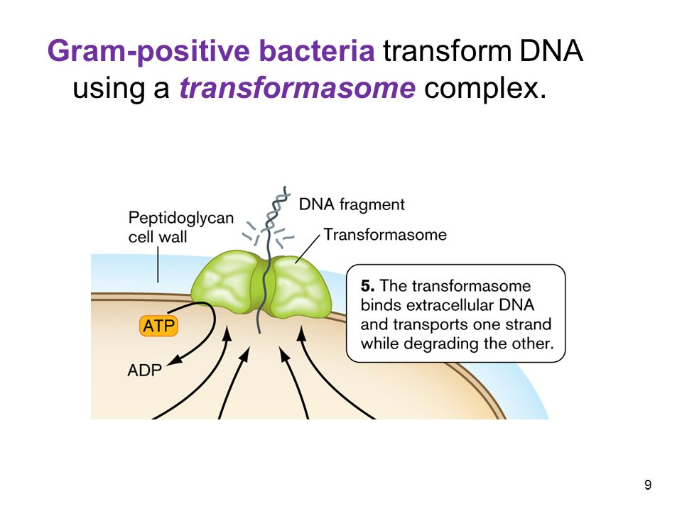 20 Some bacteria can actually transfer genes across biological domains.