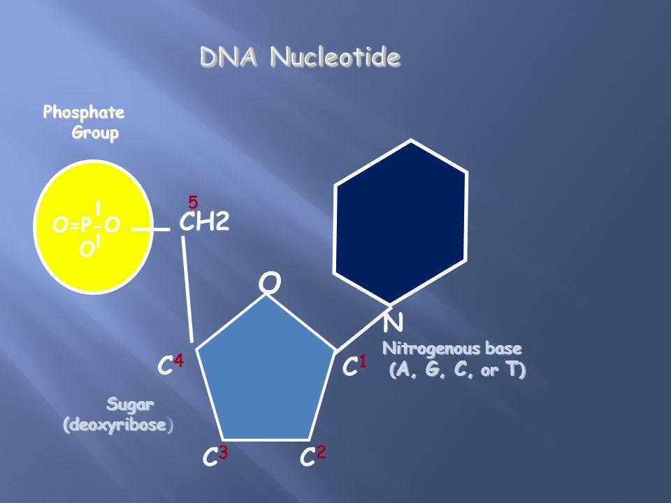 O=P-O OPhosphate Group Group N Nitrogenous base ( A, G, C, or T ) ( A, G, C, or T ) CH2 O C1C1 C4C4 C3C3 C2C2 5 Sugar Sugar (deoxyribose)
