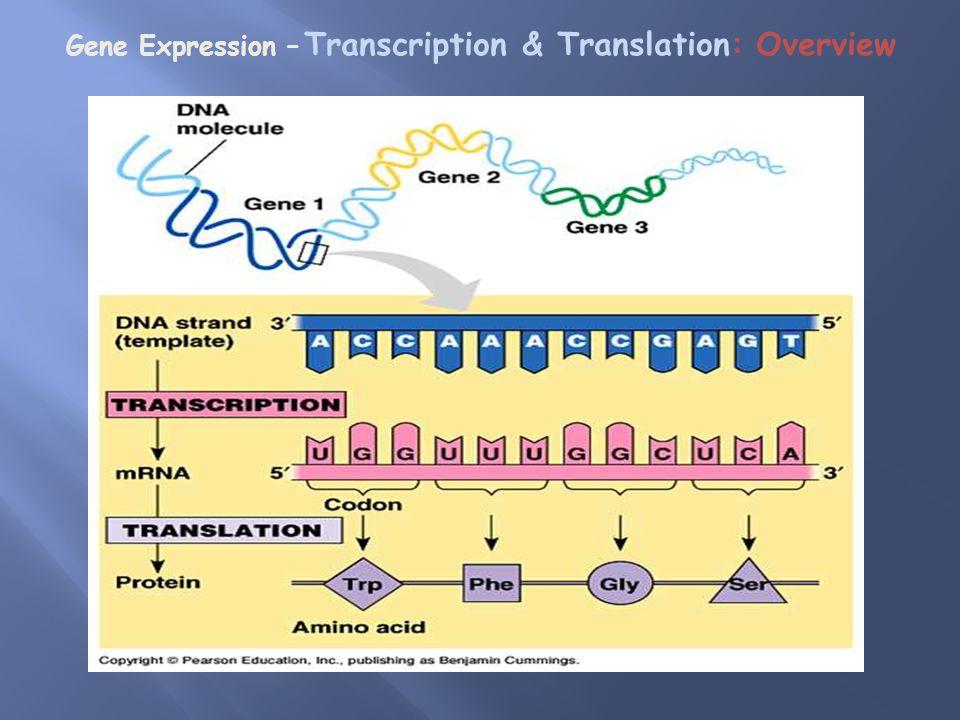 Gene Expression – Transcription & Translation: Overview