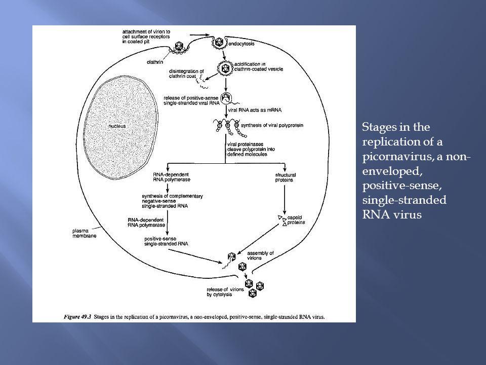 Stages in the replication of a picornavirus, a non- enveloped, positive-sense, single-stranded RNA virus