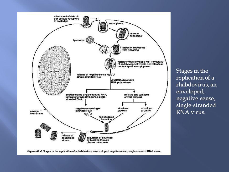 Stages in the replication of a rhabdovirus, an enveloped, negative-sense, single-stranded RNA virus.