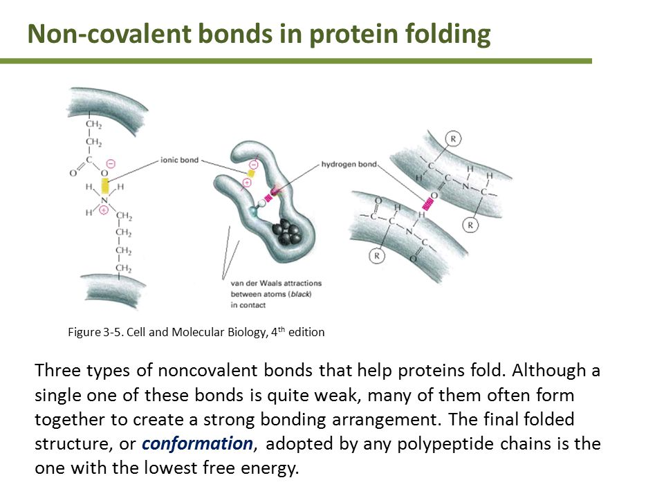 Three types of noncovalent bonds that help proteins fold.