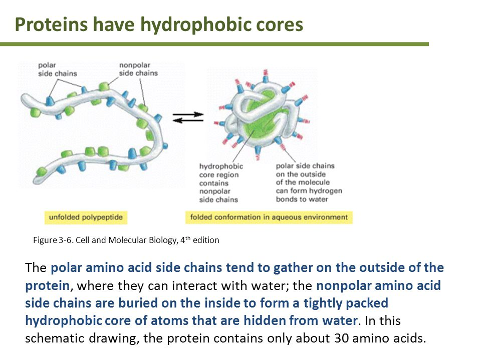 The polar amino acid side chains tend to gather on the outside of the protein, where they can interact with water; the nonpolar amino acid side chains are buried on the inside to form a tightly packed hydrophobic core of atoms that are hidden from water.