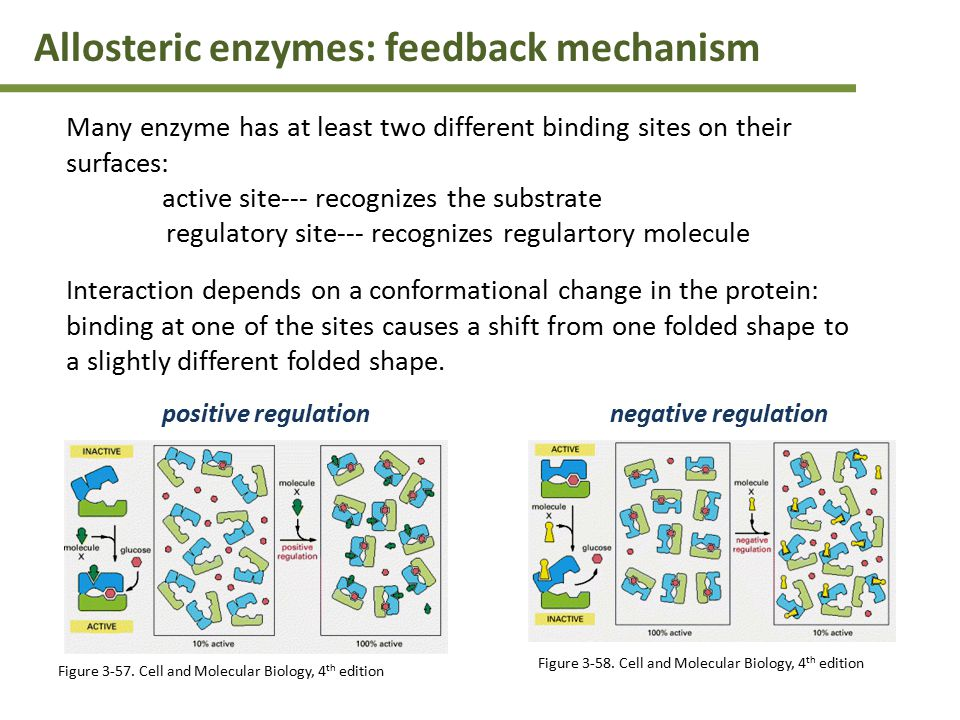 Allosteric enzymes: feedback mechanism Many enzyme has at least two different binding sites on their surfaces: active site--- recognizes the substrate regulatory site--- recognizes regulartory molecule Interaction depends on a conformational change in the protein: binding at one of the sites causes a shift from one folded shape to a slightly different folded shape.