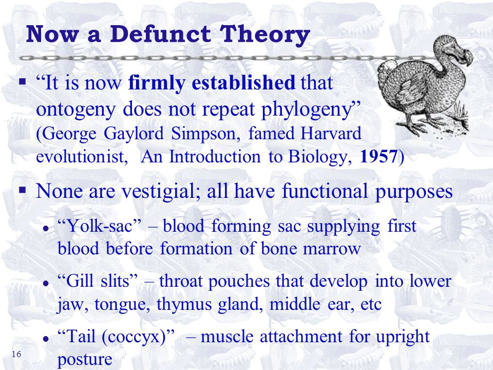 16 Now a Defunct Theory § It is now firmly established that ontogeny does not repeat phylogeny (George Gaylord Simpson, famed Harvard evolutionist, An Introduction to Biology, 1957) §None are vestigial; all have functional purposes l Yolk-sac – blood forming sac supplying first blood before formation of bone marrow l Gill slits – throat pouches that develop into lower jaw, tongue, thymus gland, middle ear, etc l Tail (coccyx) – muscle attachment for upright posture