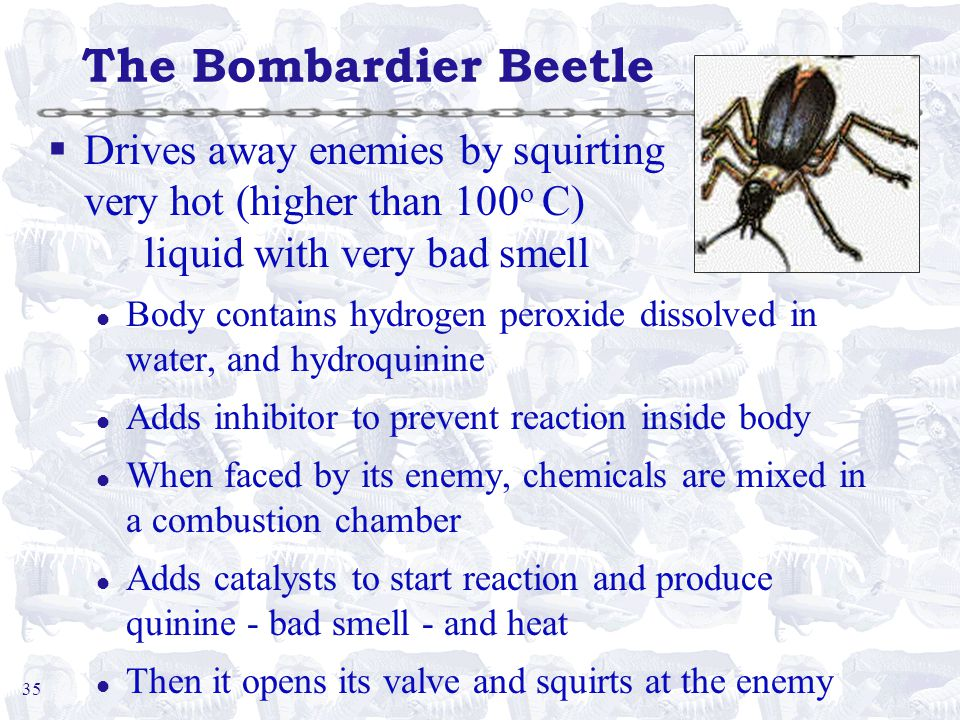 35 The Bombardier Beetle §Drives away enemies by squirting very hot (higher than 100 o C) liquid with very bad smell l Body contains hydrogen peroxide dissolved in water, and hydroquinine l Adds inhibitor to prevent reaction inside body l When faced by its enemy, chemicals are mixed in a combustion chamber l Adds catalysts to start reaction and produce quinine - bad smell - and heat l Then it opens its valve and squirts at the enemy
