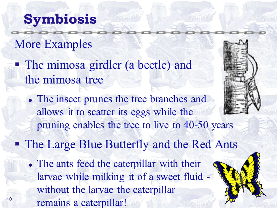 40 Symbiosis More Examples §The mimosa girdler (a beetle) and the mimosa tree l The insect prunes the tree branches and allows it to scatter its eggs while the pruning enables the tree to live to 40-50 years §The Large Blue Butterfly and the Red Ants l The ants feed the caterpillar with their larvae while milking it of a sweet fluid - without the larvae the caterpillar remains a caterpillar!