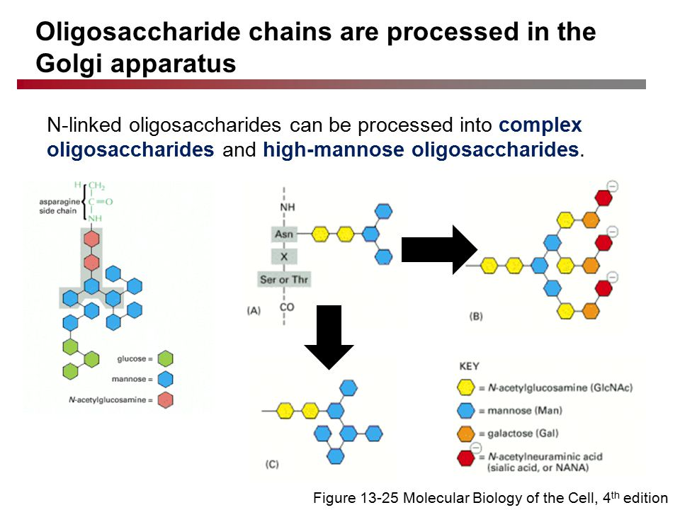 Oligosaccharide chains are processed in the Golgi apparatus N-linked oligosaccharides can be processed into complex oligosaccharides and high-mannose oligosaccharides.