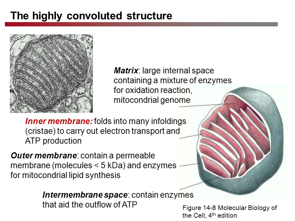 The highly convoluted structure Figure 14-8 Molecular Biology of the Cell, 4 th edition Matrix: large internal space containing a mixture of enzymes for oxidation reaction, mitocondrial genome Outer membrane: contain a permeable membrane (molecules < 5 kDa) and enzymes for mitocondrial lipid synthesis Intermembrane space: contain enzymes that aid the outflow of ATP Inner membrane: folds into many infoldings (cristae) to carry out electron transport and ATP production