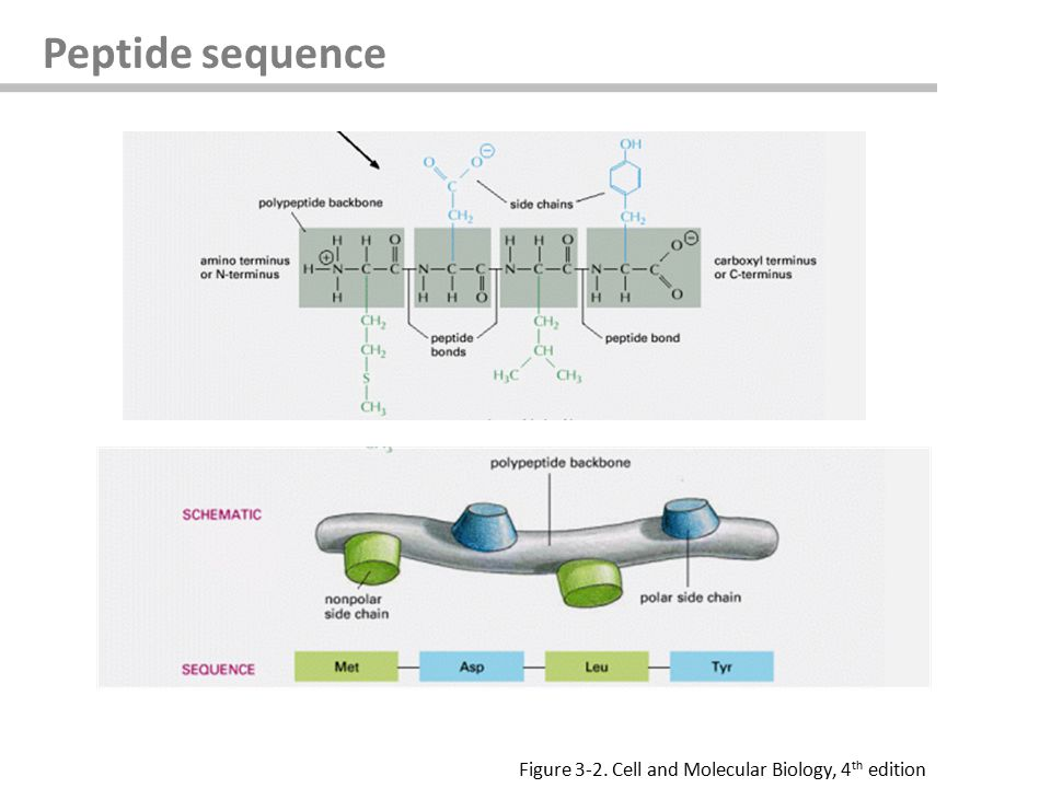 Peptide sequence Figure 3-2. Cell and Molecular Biology, 4 th edition