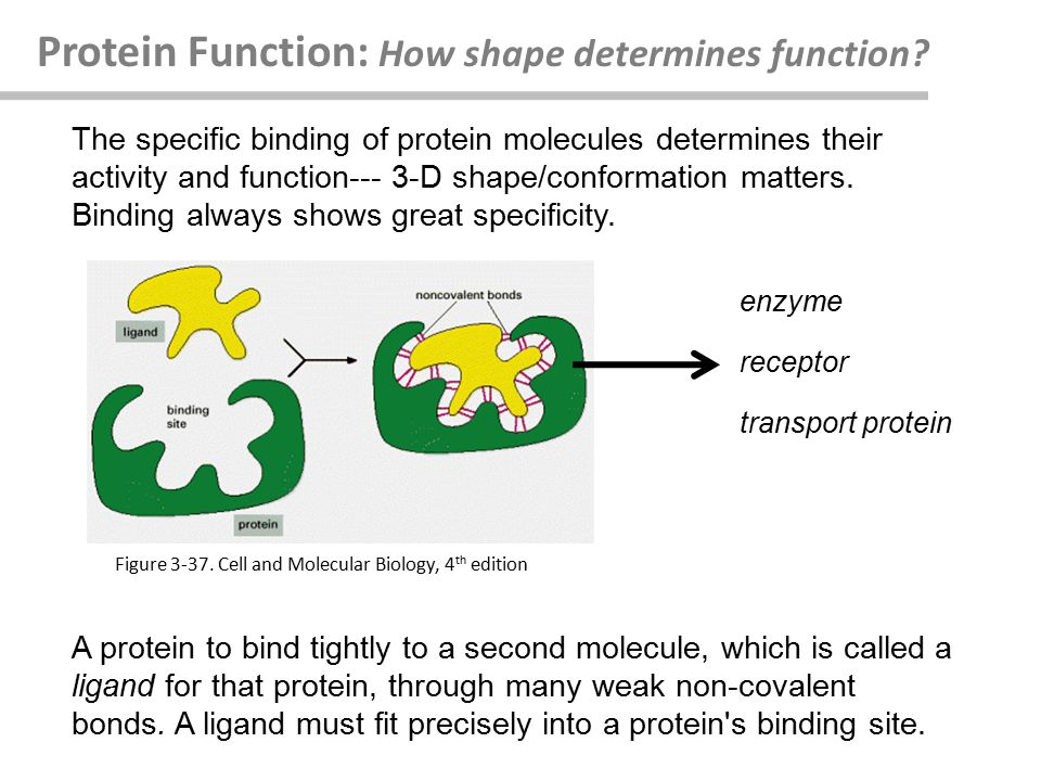 Protein Function: How shape determines function.