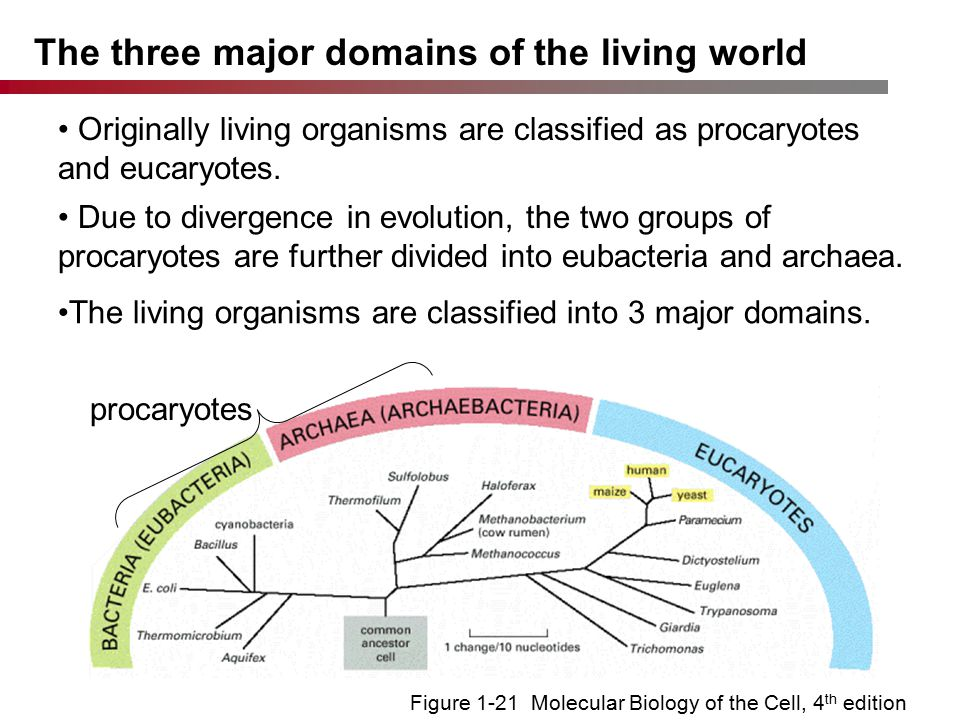 Figure 1-21 Molecular Biology of the Cell, 4 th edition The three major domains of the living world procaryotes Originally living organisms are classified as procaryotes and eucaryotes.