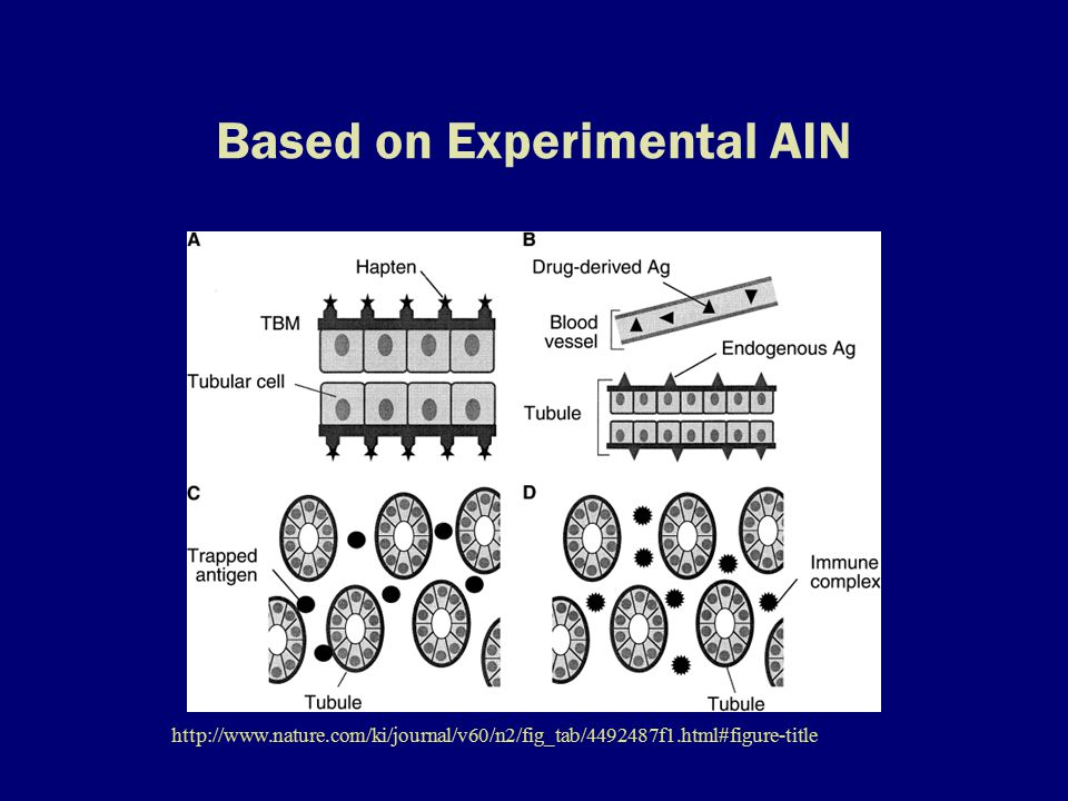 Based on Experimental AIN http://www.nature.com/ki/journal/v60/n2/fig_tab/4492487f1.html#figure-title