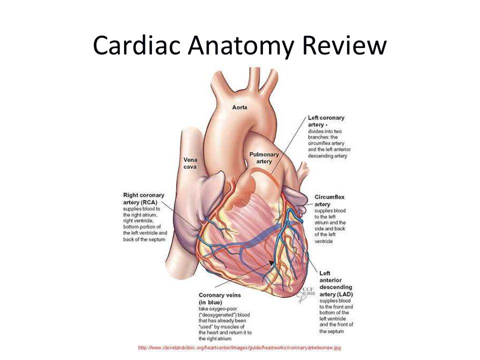 The Heart Four chambers Hollow Muscular Dual Circulation – feeds the heart muscle itself –circulates blood outside the heart lungs for oxygenation and CO2 offload peripheral supply to tissues, organs and organ systems
