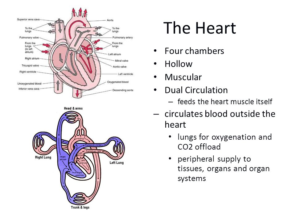 The Heart Four chambers Hollow Muscular Dual Circulation – feeds the heart muscle itself –circulates blood outside the heart lungs for oxygenation and