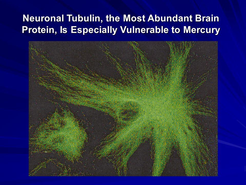 Neuronal Tubulin, the Most Abundant Brain Protein, Is Especially Vulnerable to Mercury