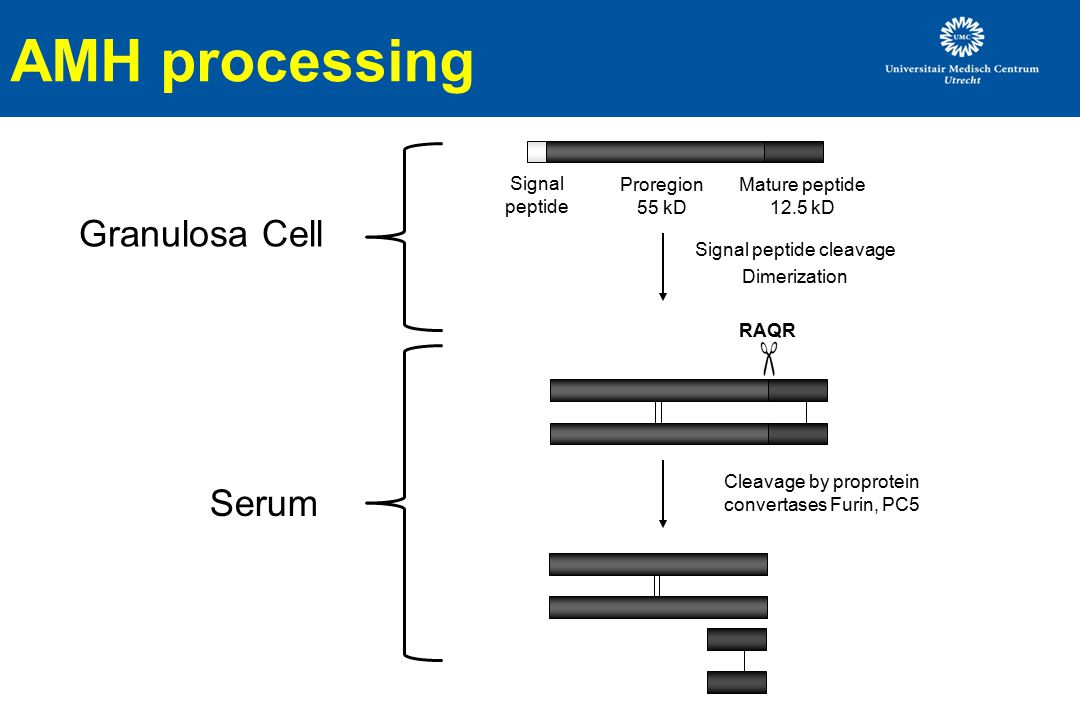 AMH processing Signal peptide Proregion 55 kD Mature peptide 12.5 kD Signal peptide cleavage Dimerization Cleavage by proprotein convertases Furin, PC5 RAQR Serum Granulosa Cell