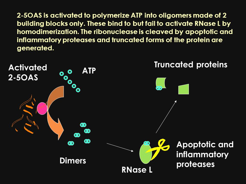 2-5OAS is activated to polymerize ATP into oligomers made of 2 building blocks only.