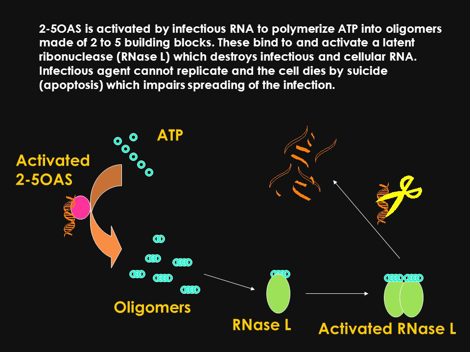 2-5OAS is activated by infectious RNA to polymerize ATP into oligomers made of 2 to 5 building blocks.