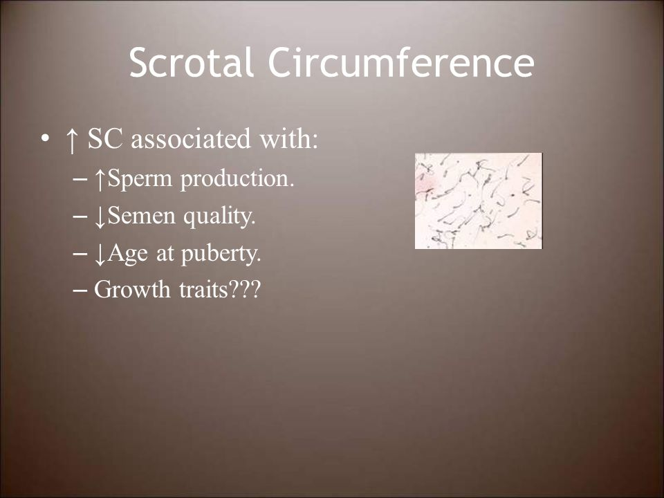 Scrotal Circumference ↑ SC associated with: – ↑Sperm production.