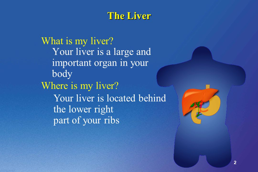 2 The Liver Your liver is a large and important organ in your body Your liver is located behind the lower right part of your ribs What is my liver.