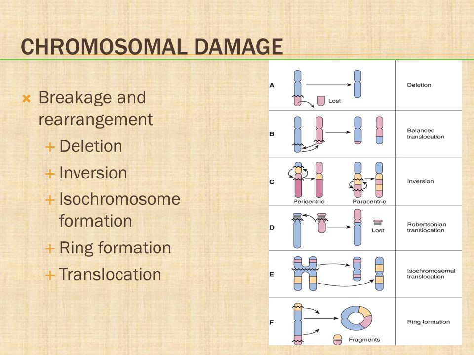 CHROMOSOMAL DAMAGE  Breakage and rearrangement  Deletion  Inversion  Isochromosome formation  Ring formation  Translocation