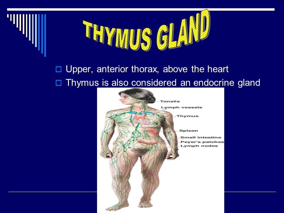  Upper, anterior thorax, above the heart  Thymus is also considered an endocrine gland
