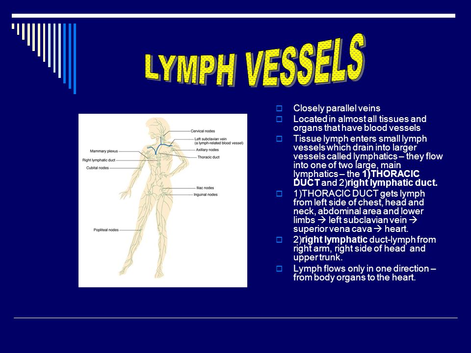  Closely parallel veins  Located in almost all tissues and organs that have blood vessels  Tissue lymph enters small lymph vessels which drain into