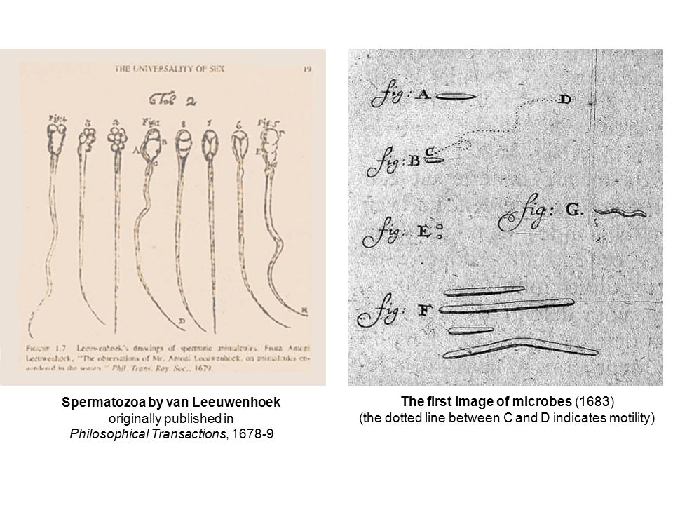 The first image of microbes (1683) (the dotted line between C and D indicates motility) Spermatozoa by van Leeuwenhoek originally published in Philoso