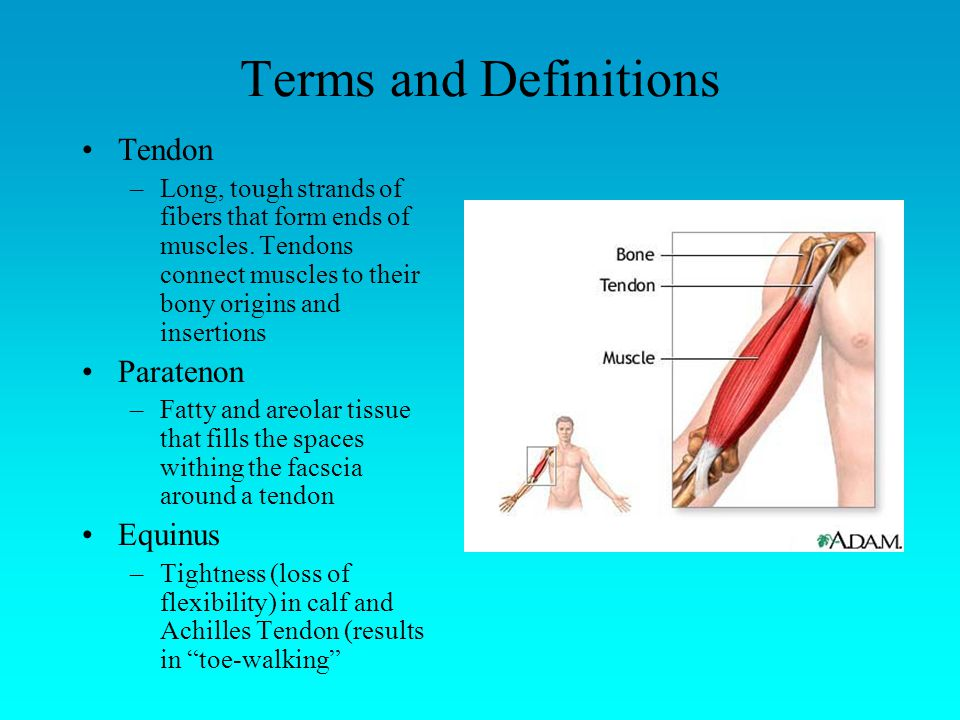 Terms and Definitions Tendon –Long, tough strands of fibers that form ends of muscles.