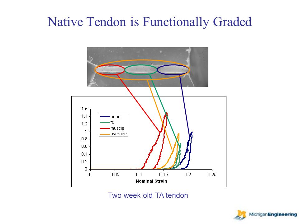 Native Tendon is Functionally Graded Two week old TA tendon