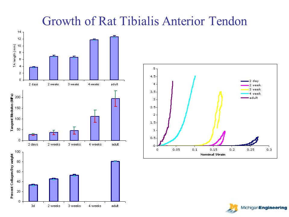 Growth of Rat Tibialis Anterior Tendon