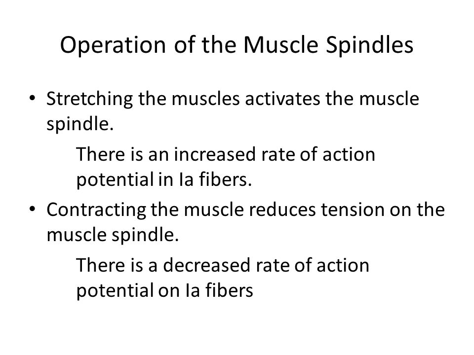 Operation of the Muscle Spindles Stretching the muscles activates the muscle spindle. There is an increased rate of action potential in Ia fibers. Con
