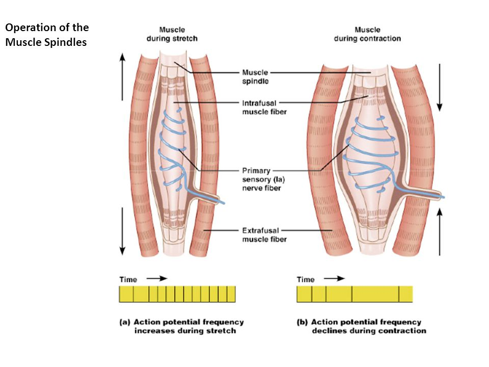 Operation of the Muscle Spindles