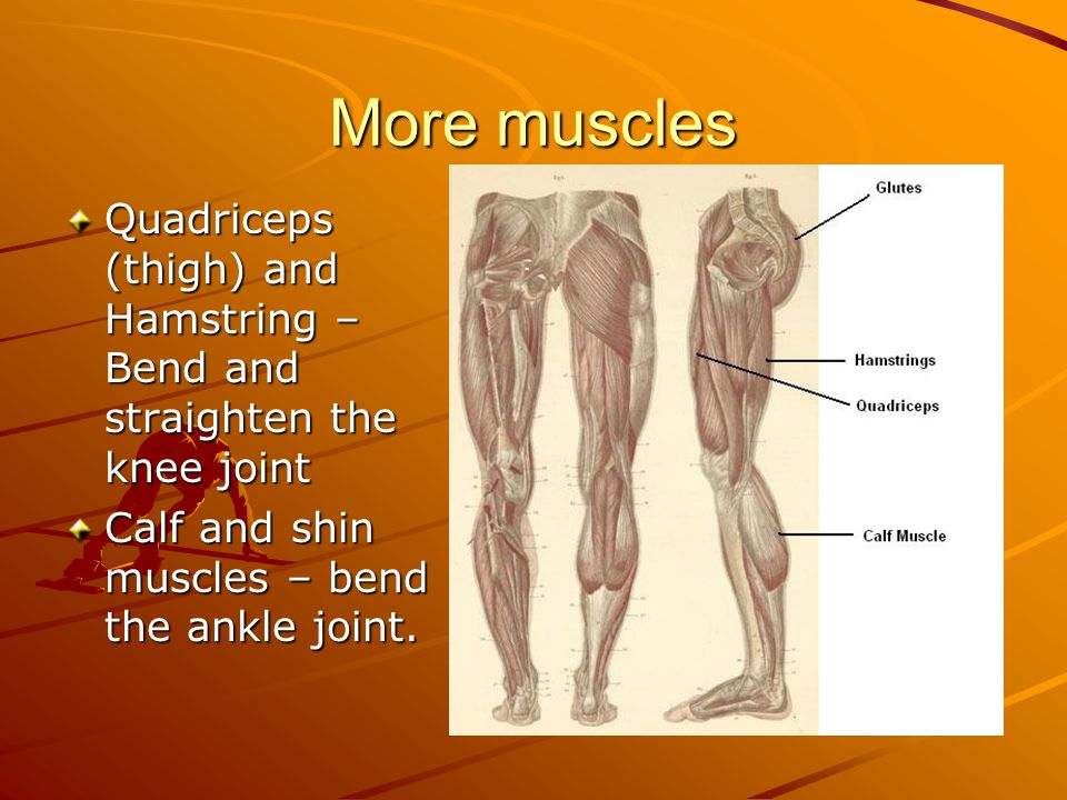 More muscles Quadriceps (thigh) and Hamstring – Bend and straighten the knee joint Calf and shin muscles – bend the ankle joint.