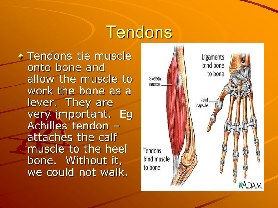 Tendons Tendons tie muscle onto bone and allow the muscle to work the bone as a lever. They are very important. Eg Achilles tendon – attaches the calf