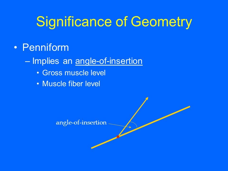 Significance of Geometry Penniform –Implies an angle-of-insertion Gross muscle level Muscle fiber level angle-of-insertion.