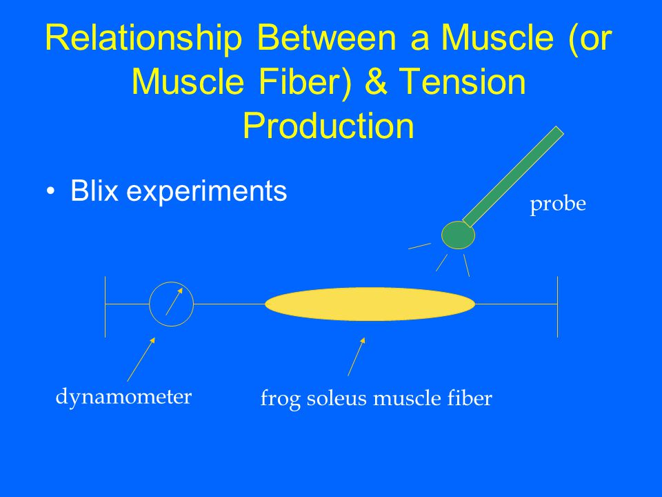 Relationship Between a Muscle (or Muscle Fiber) & Tension Production Blix experiments probe frog soleus muscle fiber dynamometer