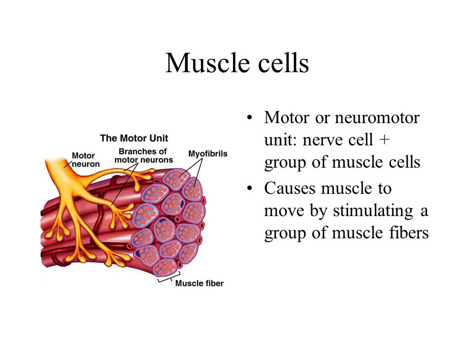 Muscle cells Motor or neuromotor unit: nerve cell + group of muscle cells Causes muscle to move by stimulating a group of muscle fibers