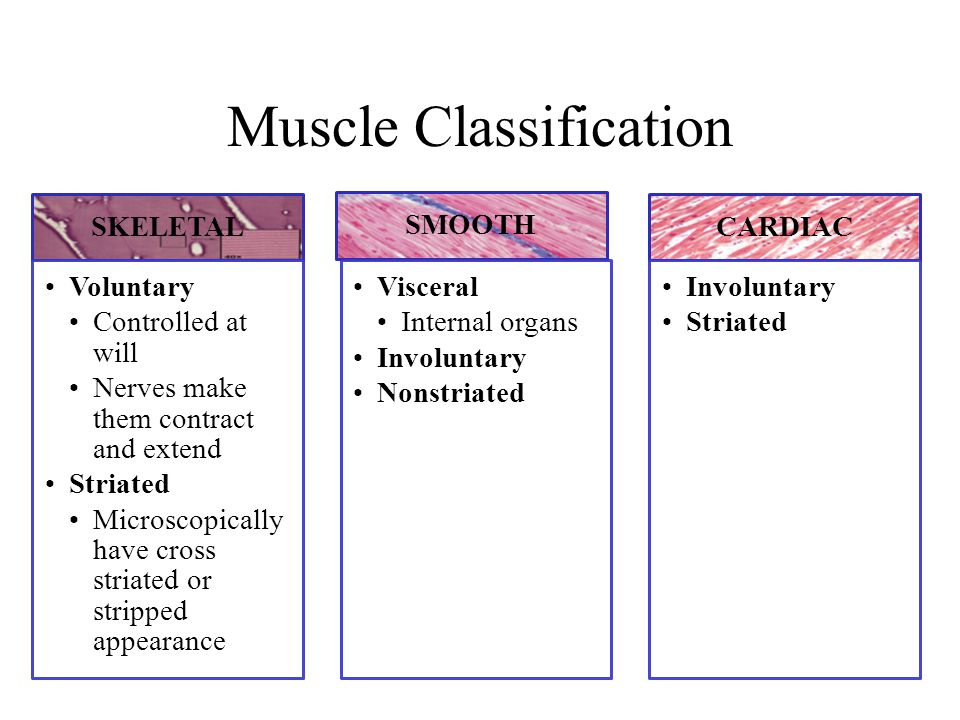 Muscle Classification SKELETAL Voluntary Controlled at will Nerves make them contract and extend Striated Microscopically have cross striated or stripped appearance SMOOTH Visceral Internal organs Involuntary Nonstriated CARDIAC Involuntary Striated
