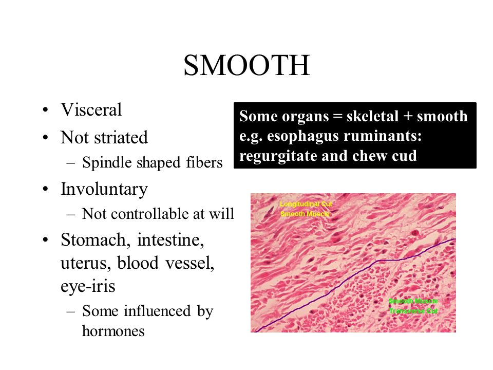 SMOOTH Visceral Not striated –Spindle shaped fibers Involuntary –Not controllable at will Stomach, intestine, uterus, blood vessel, eye-iris –Some influenced by hormones Some organs = skeletal + smooth e.g.