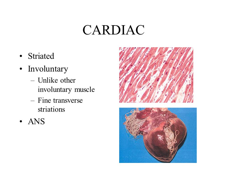 CARDIAC Striated Involuntary –Unlike other involuntary muscle –Fine transverse striations ANS